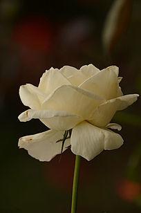 一枝白玫瑰花图片