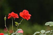 争相开放的玫瑰花图片