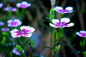 紫白色的野花