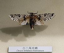 白二尾舟蛾