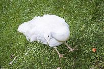 草地上的白色孔雀