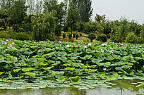 池塘荷花荷叶子