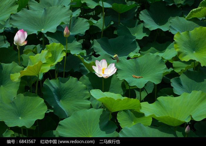 原创摄影图 动物植物 花卉花草 池塘里的荷叶