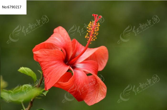 大红花花朵特写风景图片