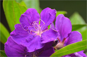 大金香炉花卉图片