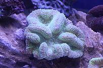 粉绿脑珊瑚