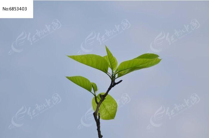 刚发芽的树叶树丫图片高清图片下载 编号6853403 红动网图片
