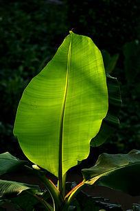 光影香蕉叶子特写图片