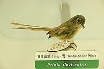 黄腹山鷦莺