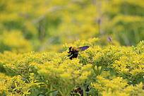 花中采蜜的黄蜂