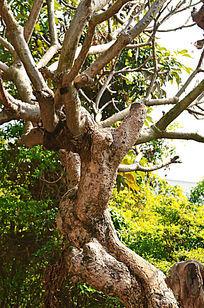 鸡蛋花大树树干图片