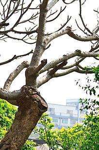 鸡蛋花树干树枝图片