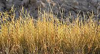 金秋枯黄的小草风景图片
