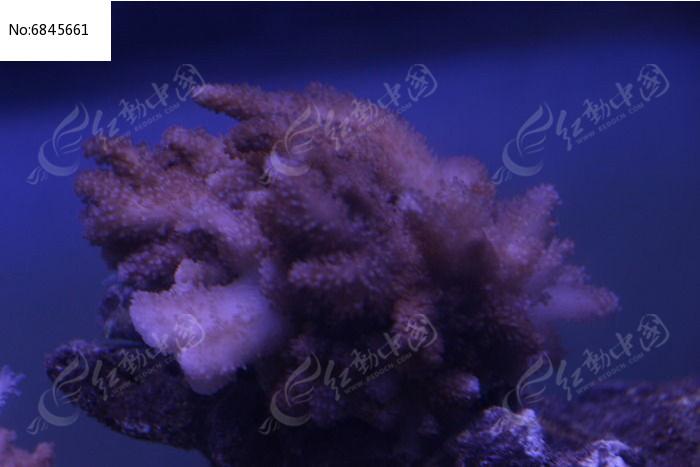 九尾狐珊瑚图片,高清大图