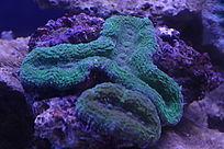 绿色脑珊瑚