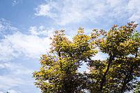 鲜艳的枫叶和蓝天