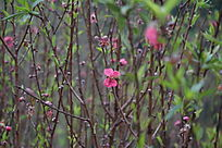 稀疏的桃枝
