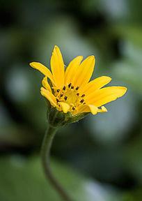一朵黄色的小雏菊