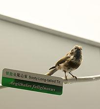 银脸长尾山雀