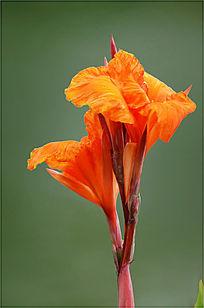 一枝独秀的橙色美人蕉特写图片