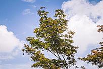一株黄枫和蓝天