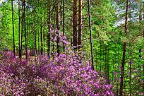 春季杜鹃松林
