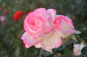 粉嫩的月季花花卉特写风景图片
