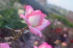 粉嫩的月季花花卉图片