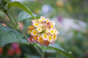 粉色和黄色的五色梅