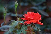 火红色玫瑰花鲜花图片