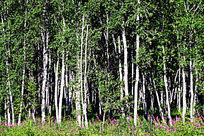 柳兰盛开的白桦林风景