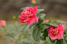 怒放的月季花花卉图片