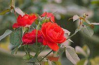 一簇火红的玫瑰花风景拖