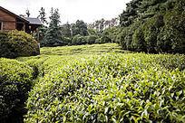 一大片翠绿的茶园