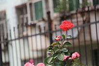 一朵美丽的红色月季