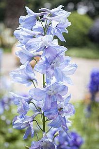一株蓝色的花朵