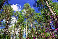 樟子松松林景观