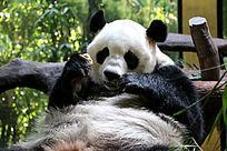 吃东西的大熊猫