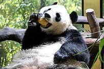 吃东西的大熊猫特写
