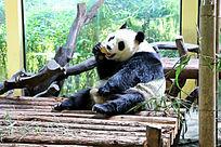 吃东西的可爱大熊猫