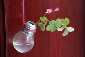 创意水养红花酢浆草