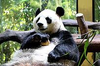 大熊猫半身照