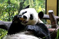 大熊猫吃东西