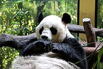 大熊猫特写