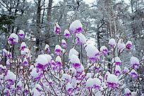 杜鹃花春雪风景
