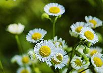 黄白小野花图片