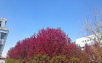 火红的树顶