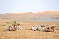 沙漠中休闲的骆驼队