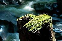 树桩青苔图片