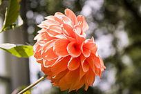 鲜艳的橙色大丽花
